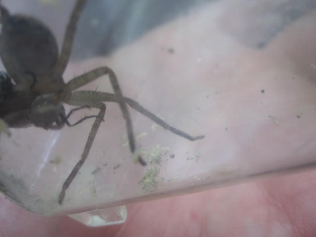 無数の蛆虫がアシダカグモの足に絡みついてくる!