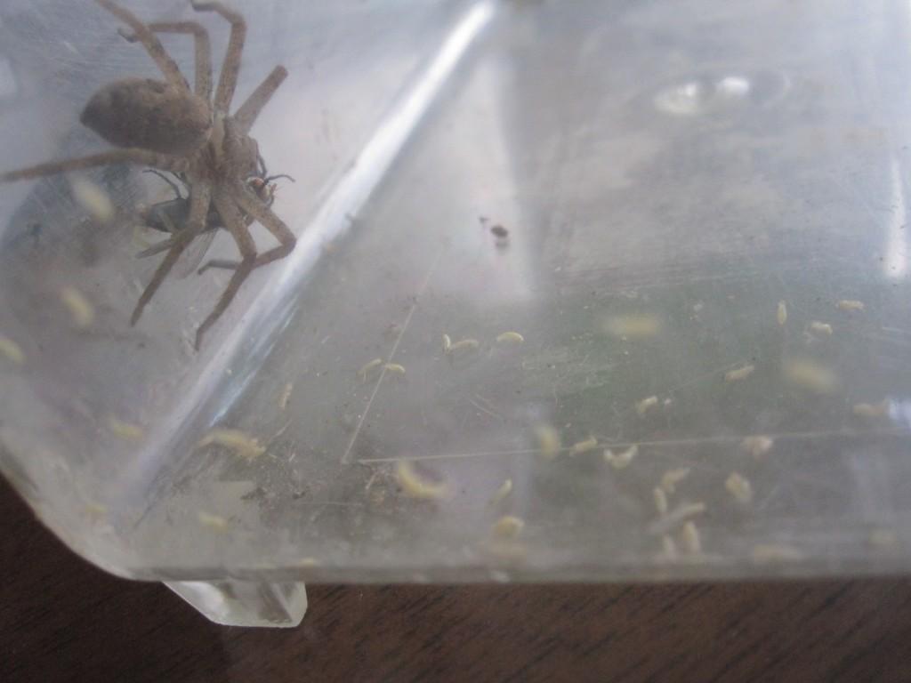 ウジ虫を避けて垂直な壁に逃げたアシダカグモ