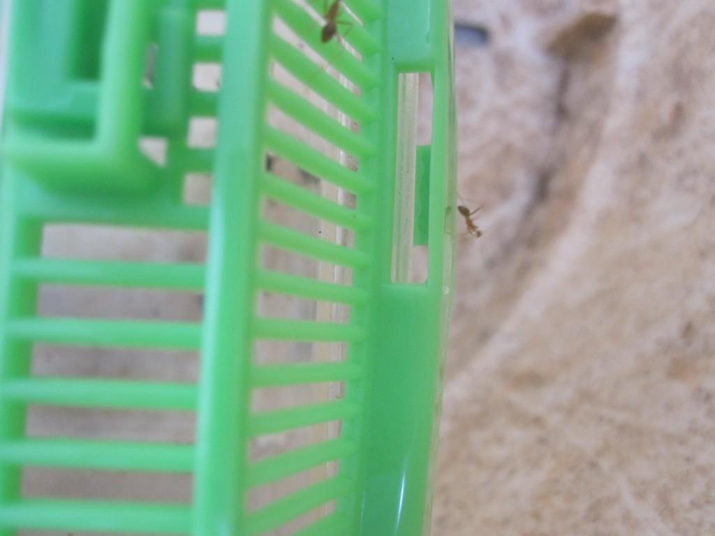 虫カゴの屋根の隙間から入り込むアリの大群