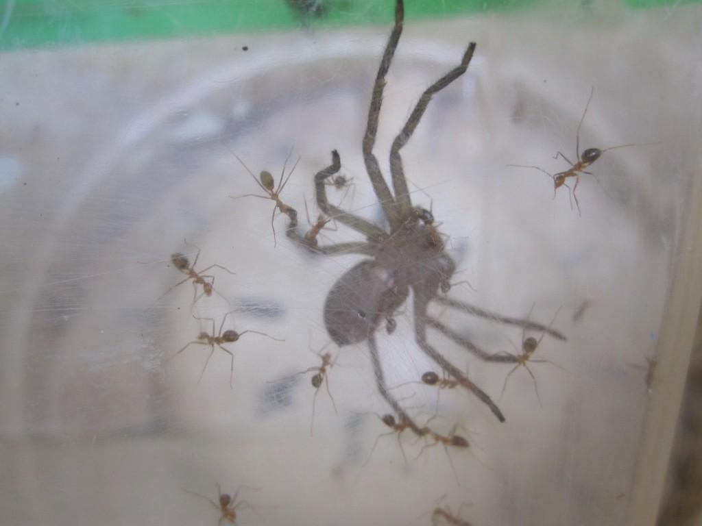 アシダカグモが蟻(アリ)に襲われている衝撃の場面!