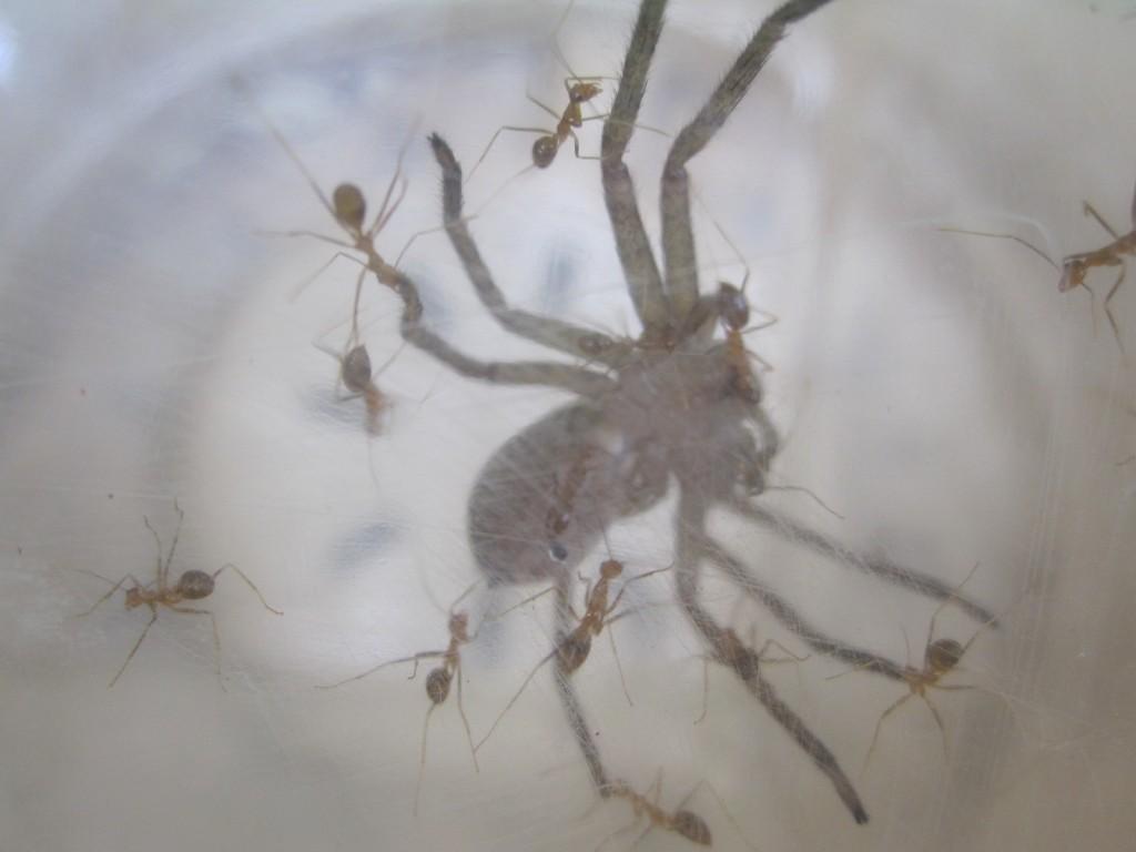 無敵のアシダカグモが小さな蟻たちの襲撃を受けている!