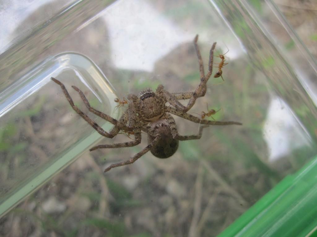 蟻の大群に襲われ身の危険を感じたアシダカグモ