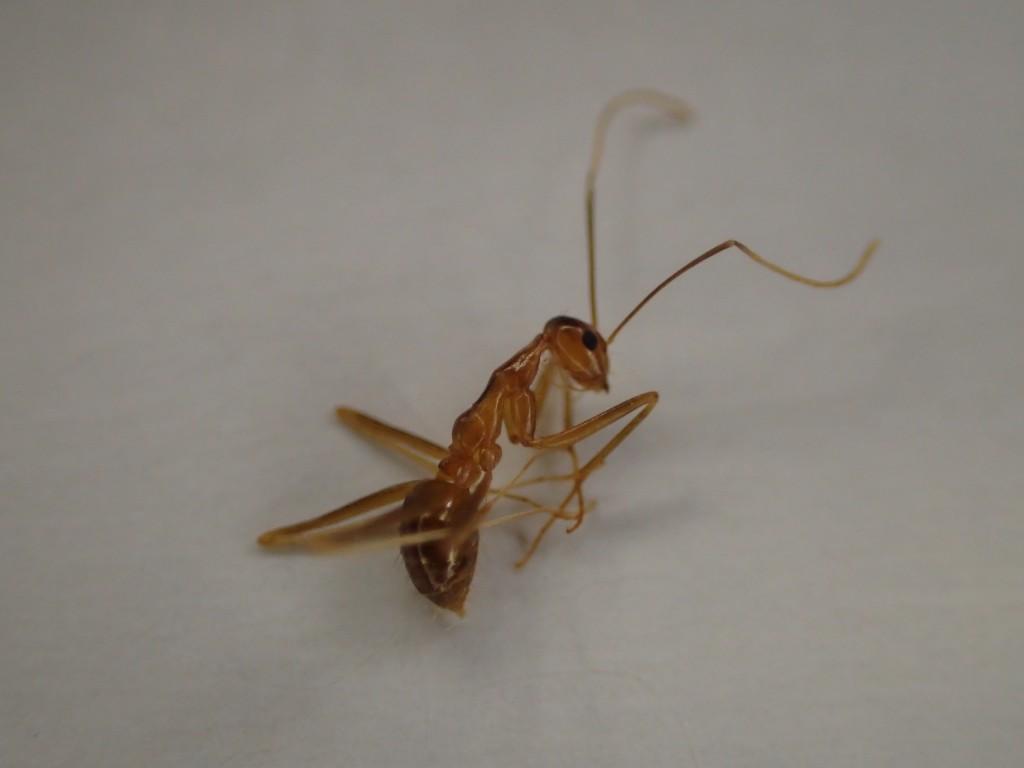 アルゼンチンアリにソックリ!?な蟻の正体・種類は?