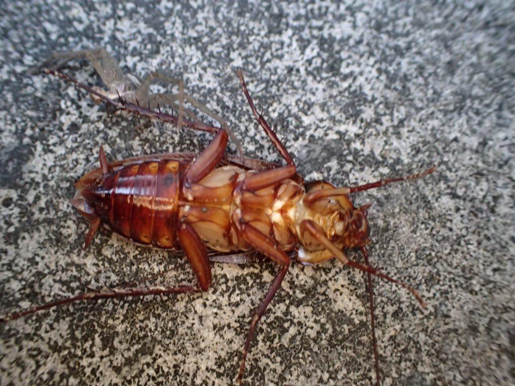 ひっくり返って時折、足をばたつかせるワモンゴキブリの成虫