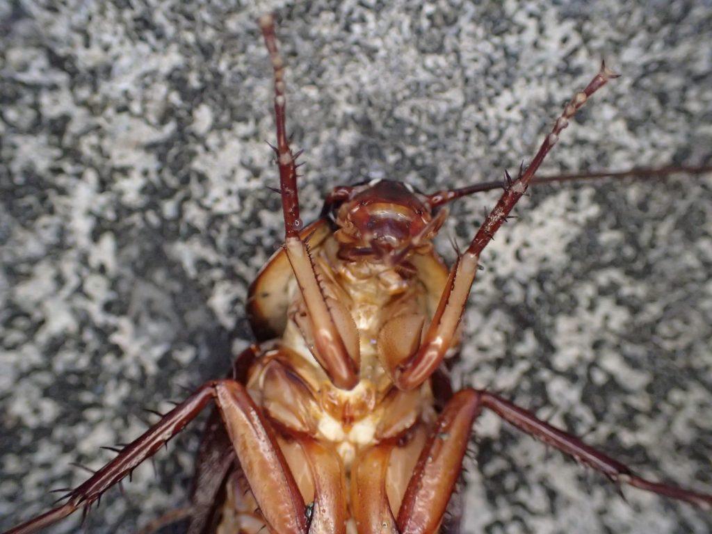 外来種の害虫ワモンゴキブリが弱って死にそう?