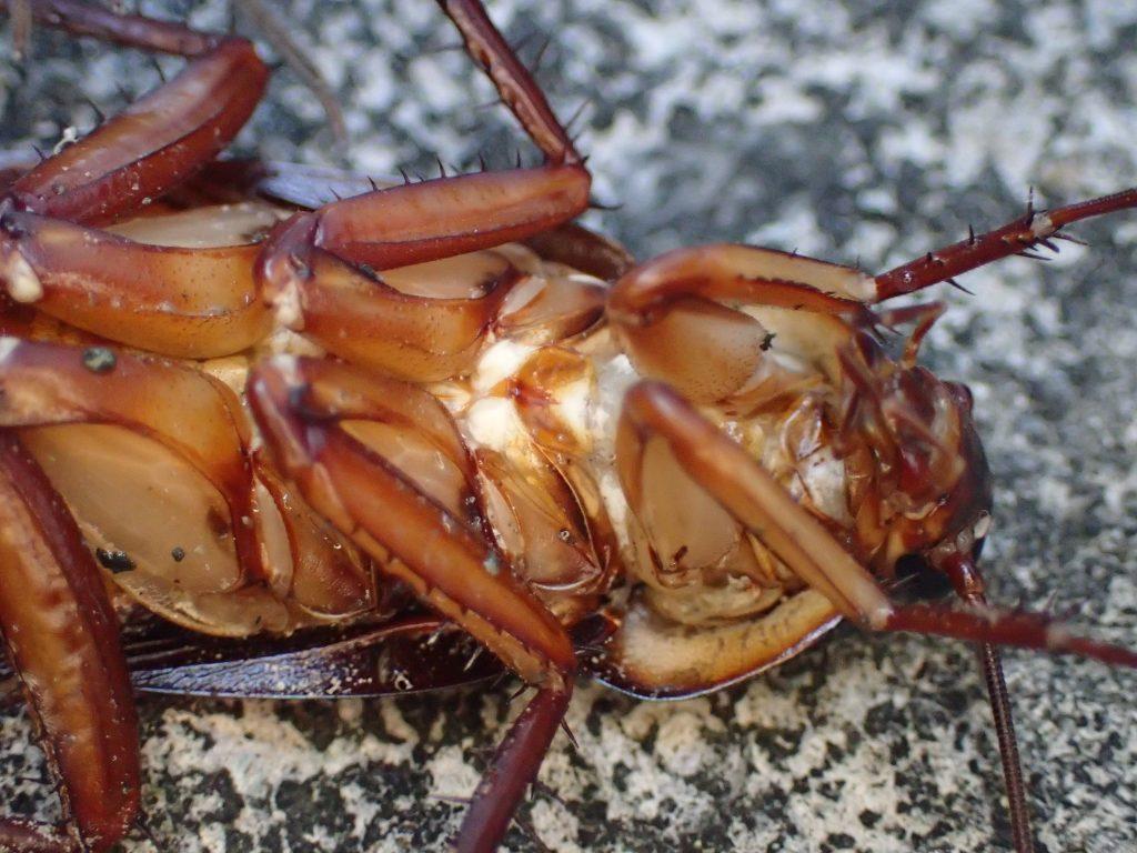 仰向け状態の姿勢で足を広げてジッと動かないワモンゴキブリ