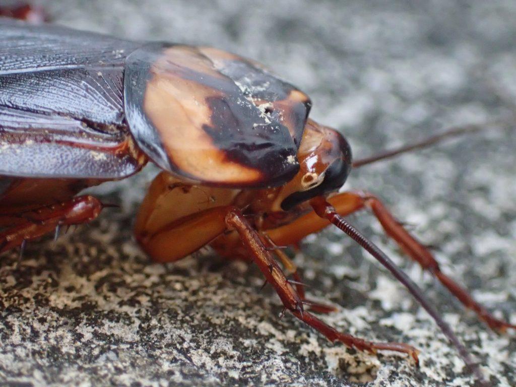 ワモンゴキブリの成虫の頭部を横から撮影した写真・画像