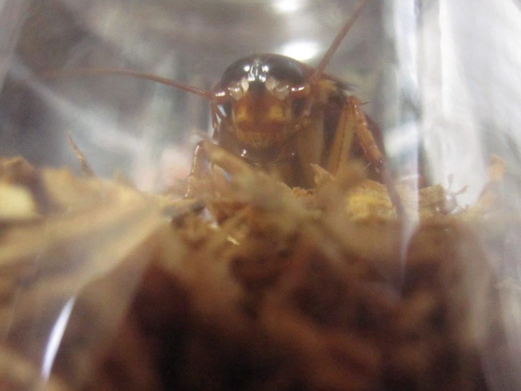 タバコが敷き詰められたシガレット・ベッドに降り立ったゴキブリ