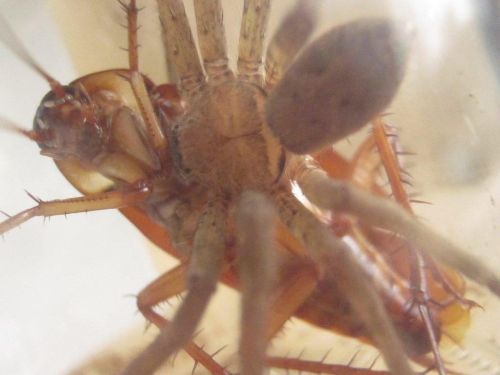 ハンターのように喰らいついたアシダカグモと為す術のないゴキブリ