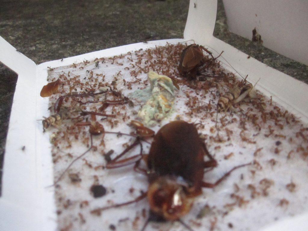 ゴキブリ捕獲器の罠にハマった虫達の残骸