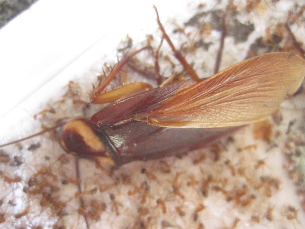 外来種の害虫ワモンゴキブリの成虫