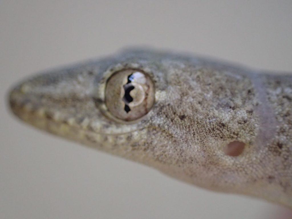 黄金色に輝くニホンヤモリ(爬虫類)の瞳