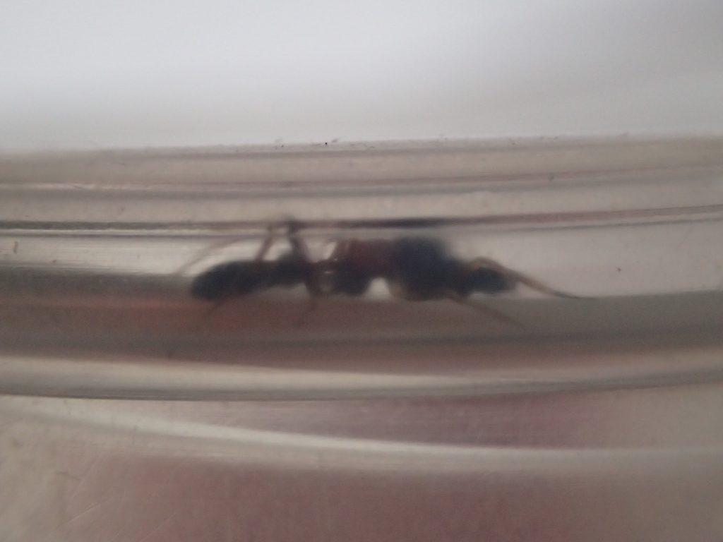 狭い場所に縮こまって隠れるアリグモ