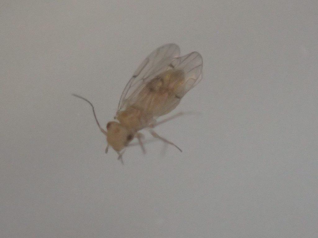 不快害虫の有翅チャタテムシ・ヒメチャタテ?