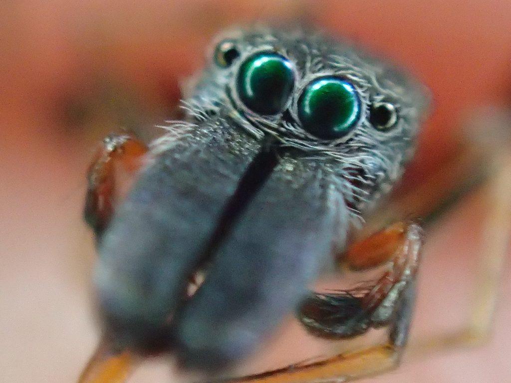 蟻(アリ)に擬態して身を守るアリグモの接写真・画像