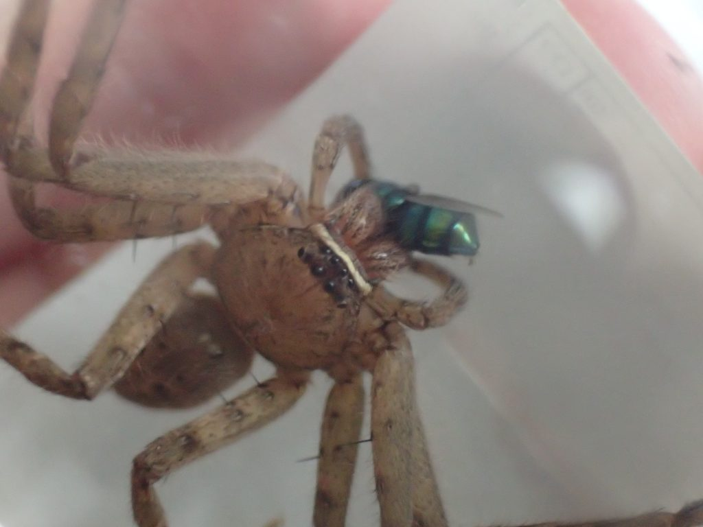 ゴキブリの天敵であり最強の益虫アシダカグモ(蜘蛛)にギンバエを与える
