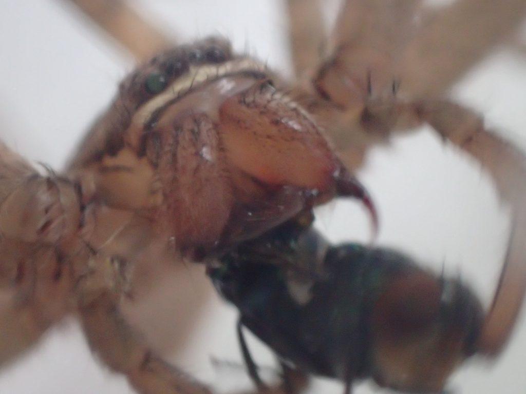 鋭い牙でギンバエを肉団子のように丸めて捕食するアシダカグモ