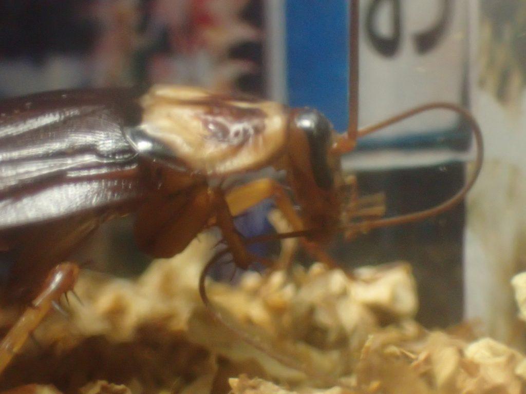 時間が経つと慣れたのか触角の掃除を始めるゴキブリ