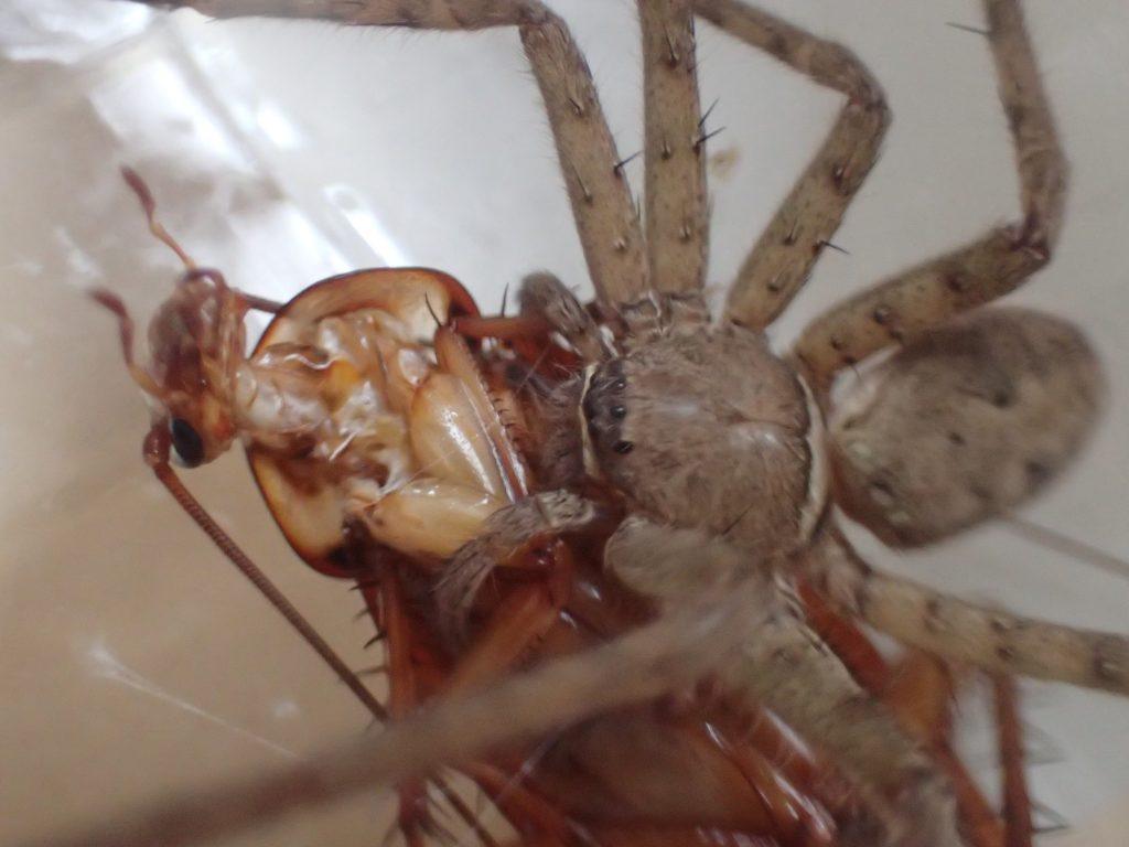 害虫ゴキブリの天敵アシダカグモが本領発揮した瞬間の決定的シーン!