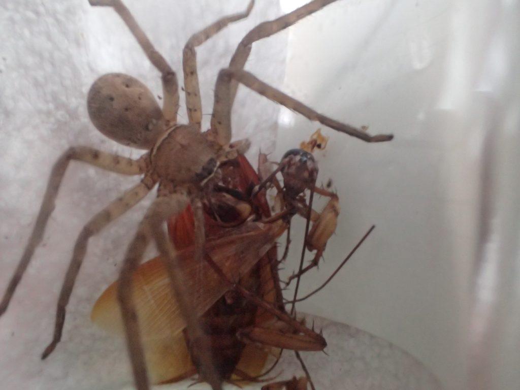 数十分後、精気を吸い取られたゴキブリはアシダカグモの食料と変り果てていた