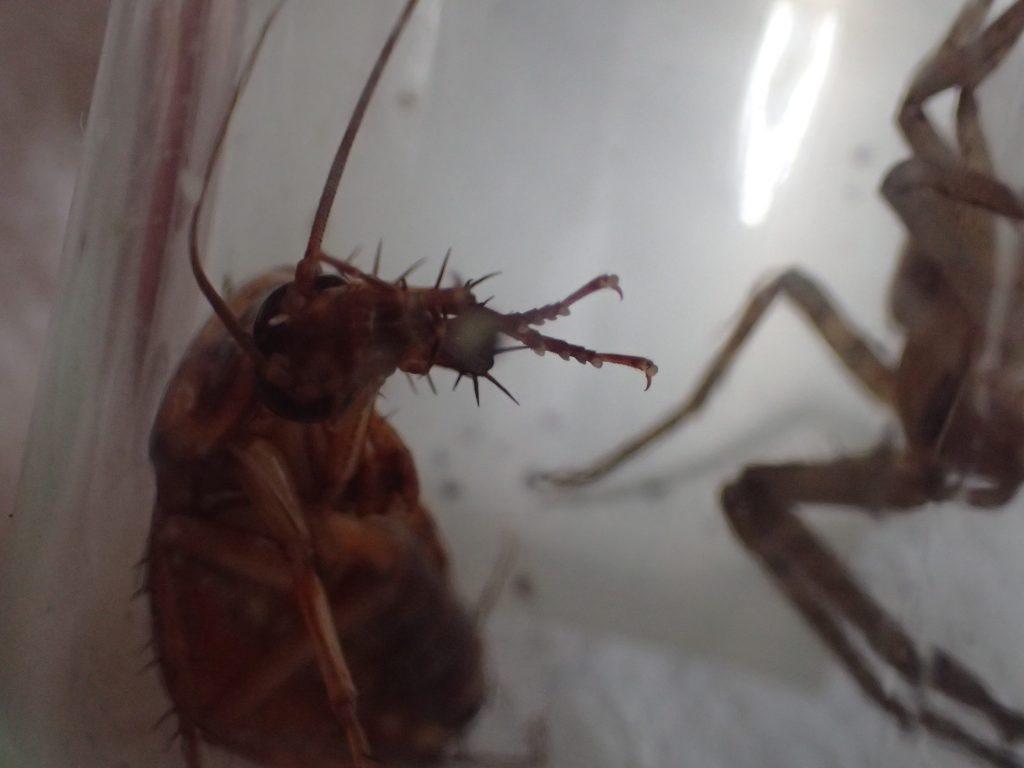 案外きれい好き?な害虫のワモンゴキブリ
