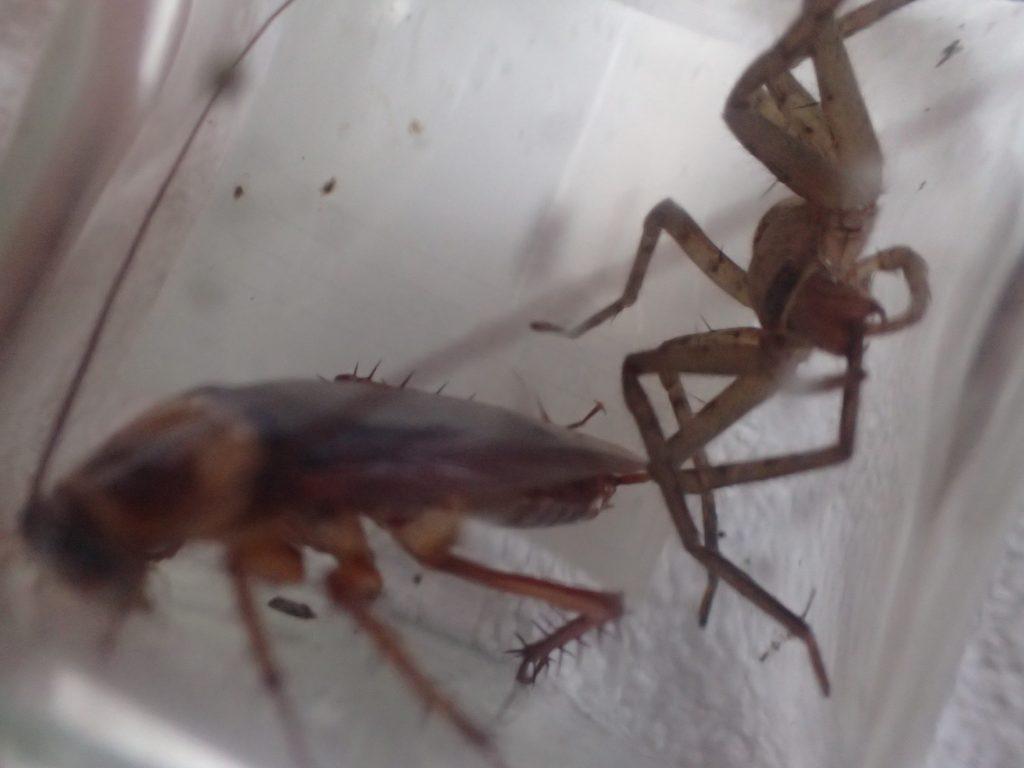 アシダカグモに成虫のワモンゴキブリを与えてみた