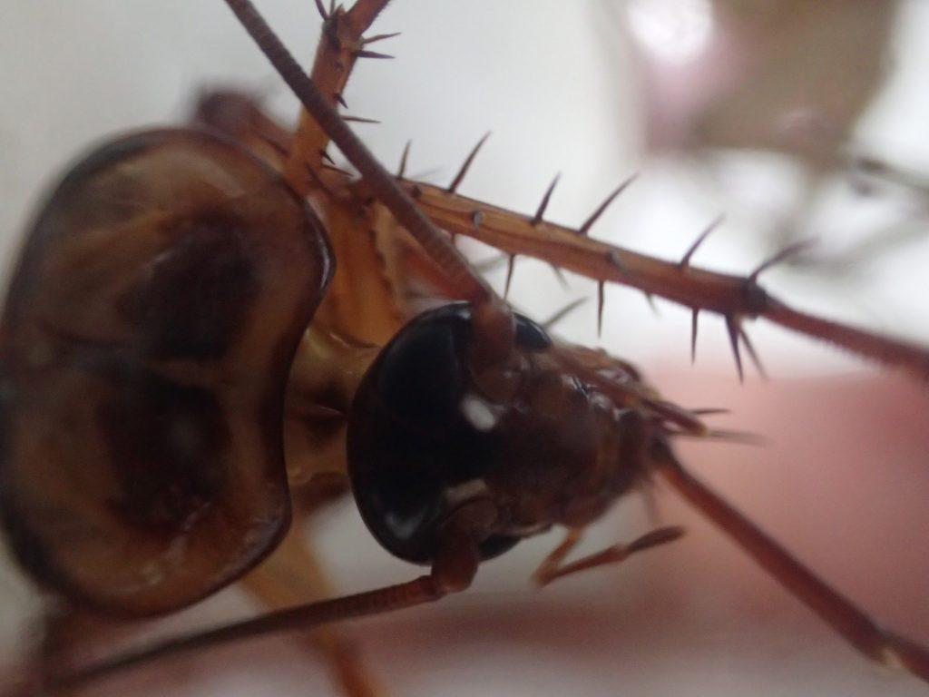 毛づくろい?脚を口で舐めて掃除し始めたゴキブリ