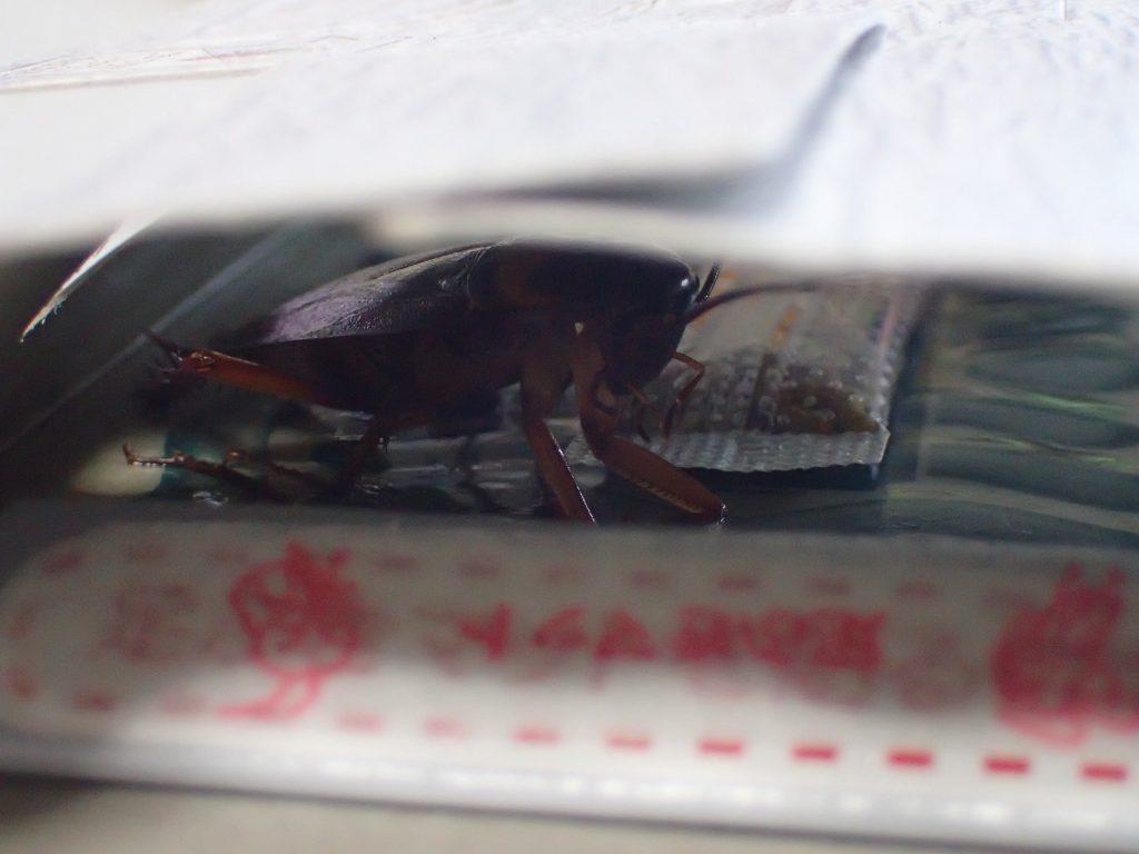 害虫ワモンゴキブリの成虫が粘着シートに引っ掛かっている