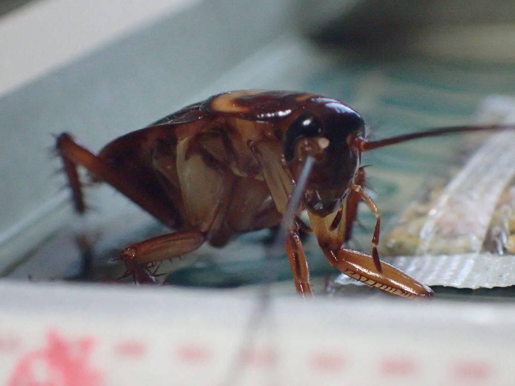 誘引剤の匂いに騙され粘着シートに引っ掛かった害虫ゴキブリ