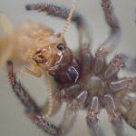 益虫ハエトリグモは建築害虫のシロアリ(白蟻)も捕食する?照明に集まった羽アリを捕まえて与えてみた動画と写真