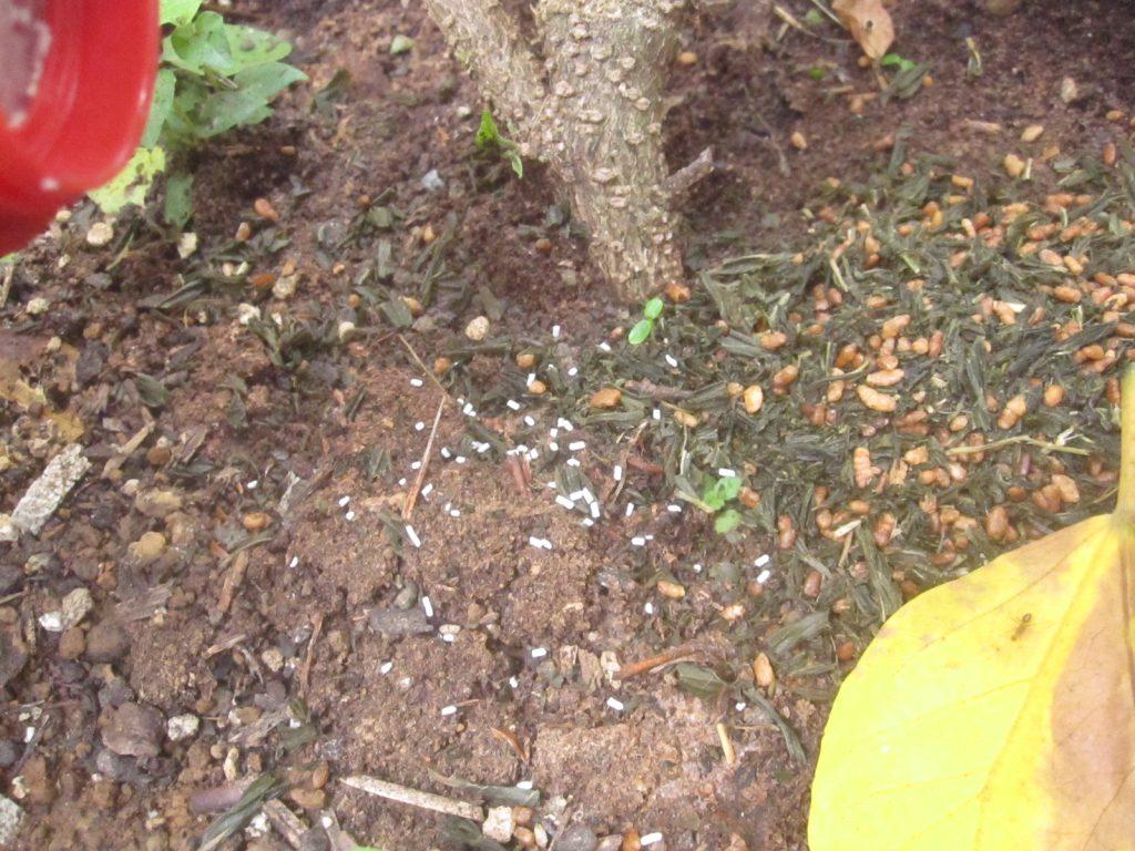 植物の根本にオルトランDX粒剤を撒く様子