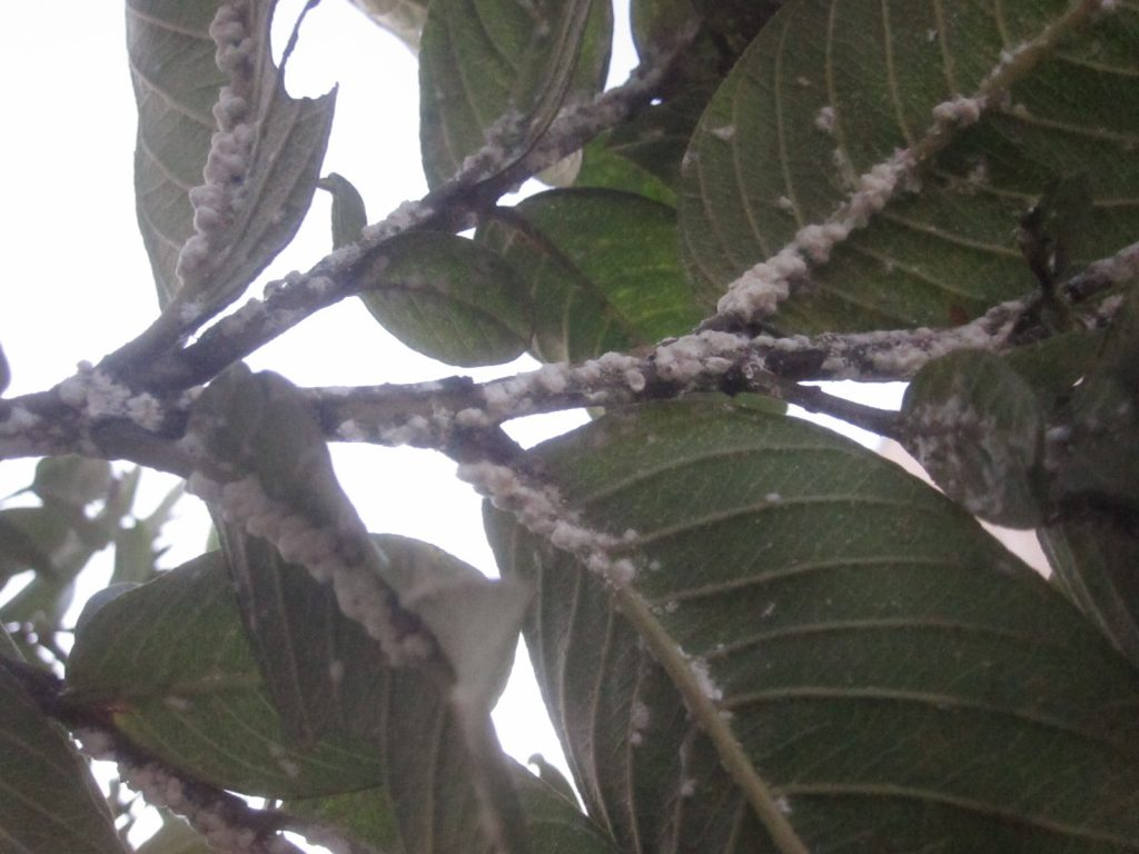 以前、パパイヤに大量発生した害虫ミカンコナカイガラムシを発見!