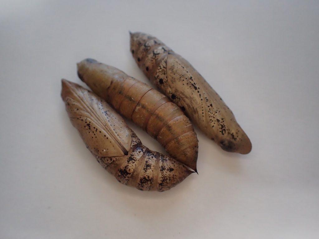 蛾(ガ)セスジスズメの幼虫が蛹(サナギ)になった