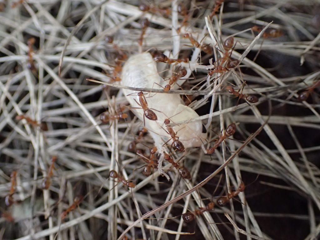 蟻(アリ)の大群が白いモノを抱えて運んでいる
