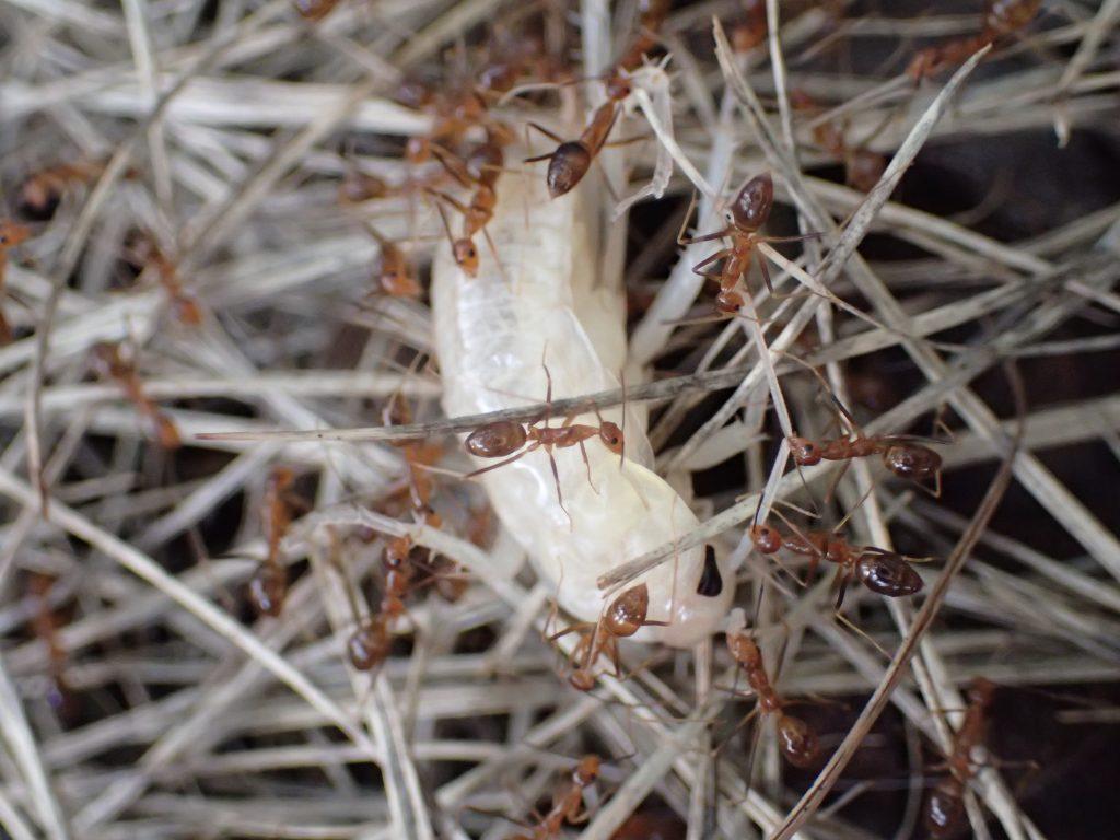 アリが何を運んでいるのか調べるために再接近してみると・・・