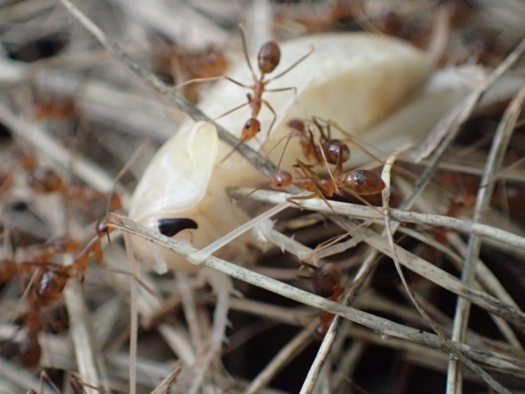 目だけが黒く体は真っ白なアルビノ・ゴキブリ?を集団で運ぶアリたち