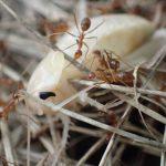 蟻はゴキブリの天敵か(´゚д゚`)!?脱皮直後の白いゴキブリがアリの大群に襲われ!?巣に持ち運ばれる動画