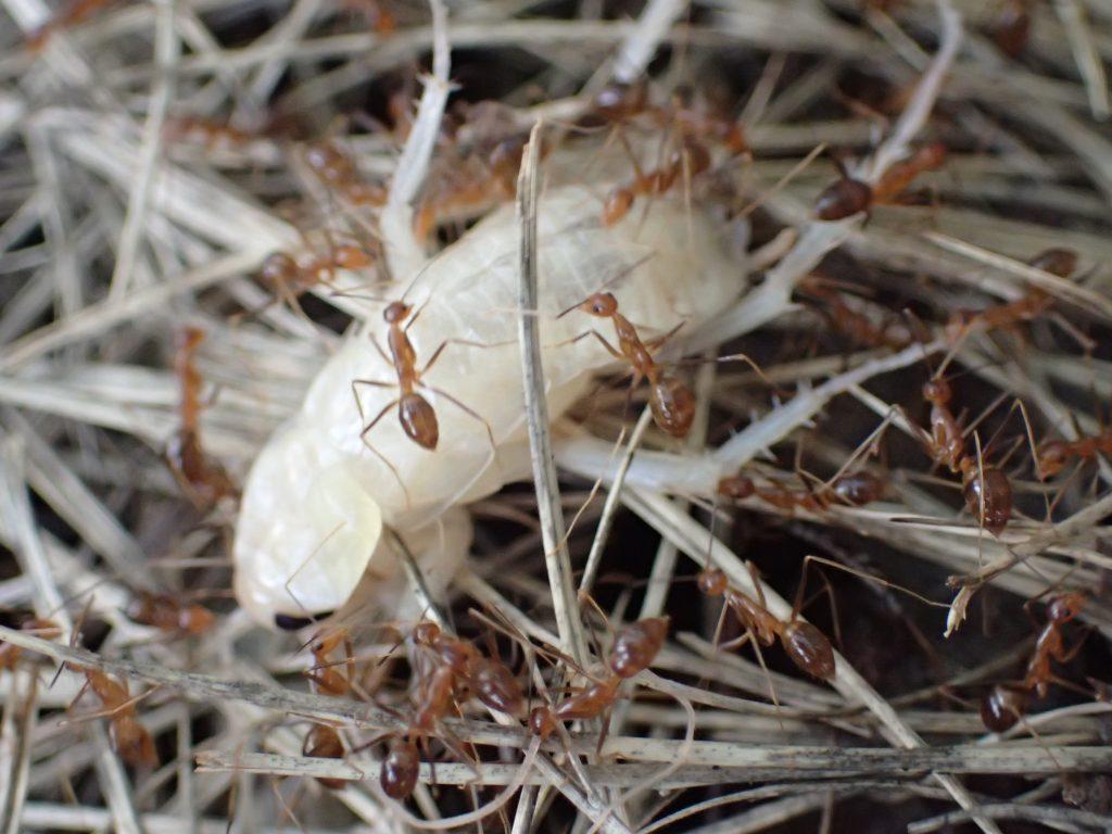 重さを分散するため足を持つ担当など作業を分担させる賢い蟻