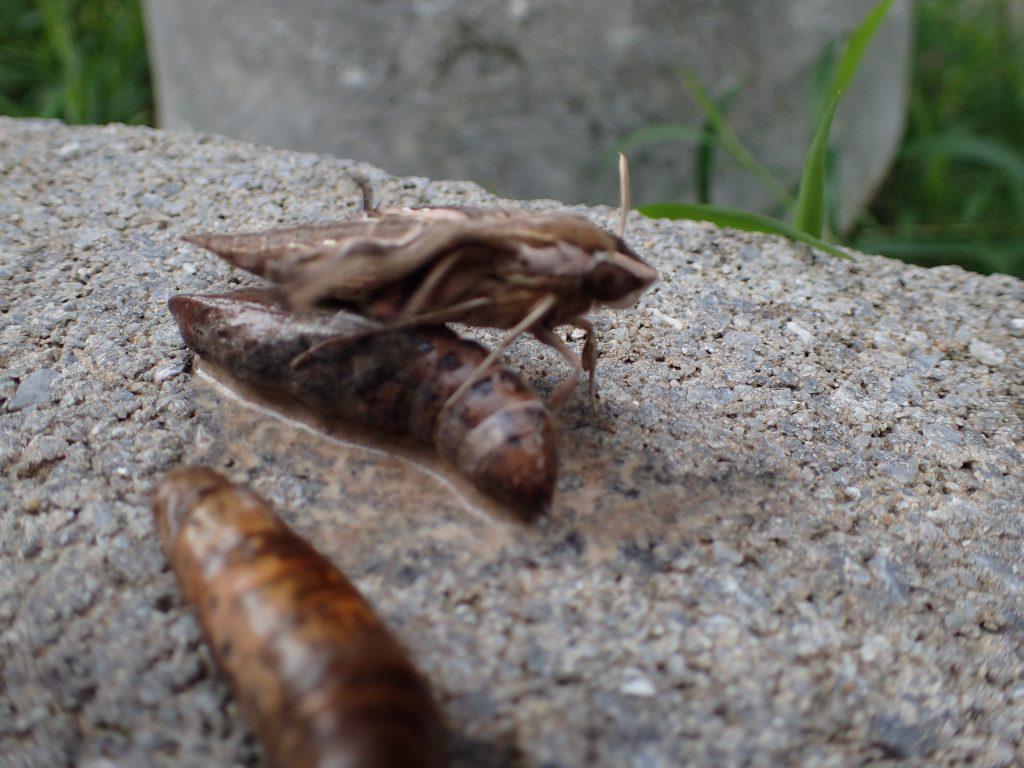 野外に放すと懸命に羽を羽ばたかせ始めたセスジスズメの成虫・蛾