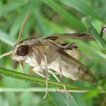 作物の葉を食い荒らす害虫セスジスズメ(蛾)の黒いブヨブヨ幼虫がサナギ(蛹)から羽化したんだってば!
