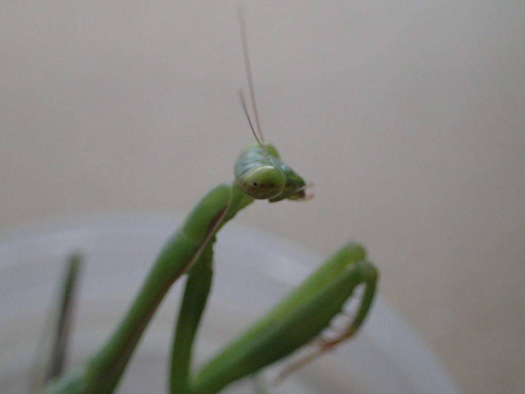 三角系の頭部に大きなギョロ目がキョロキョロ動く