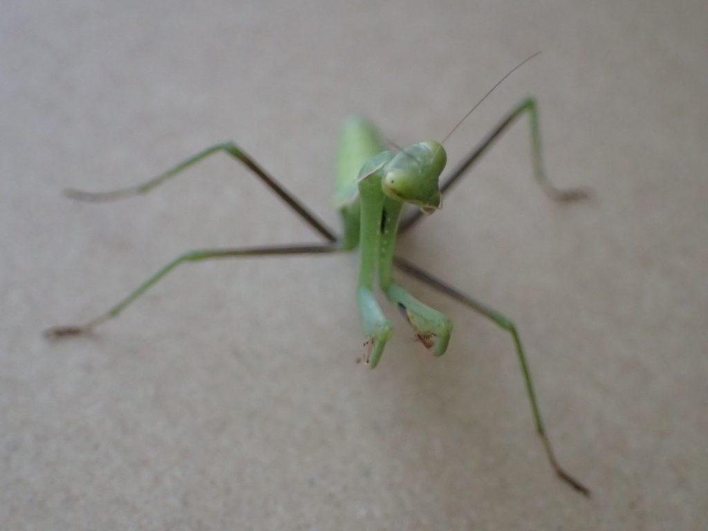 道端で捕獲した昆虫(子ども)カマキリ