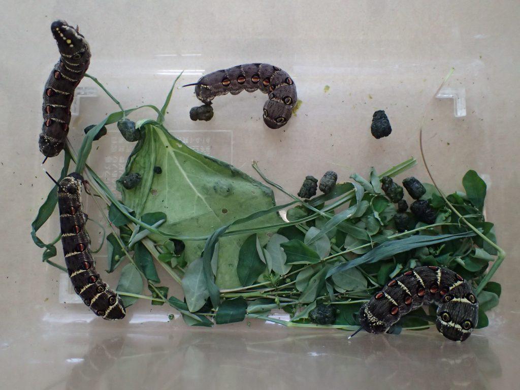 数分で4匹も捕獲したセスジスズメの幼虫を虫カゴに入れる