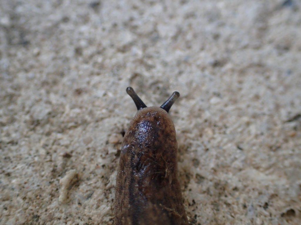雨降り後の湿ったコンクリートを元気に這い回る害虫ナメクジ