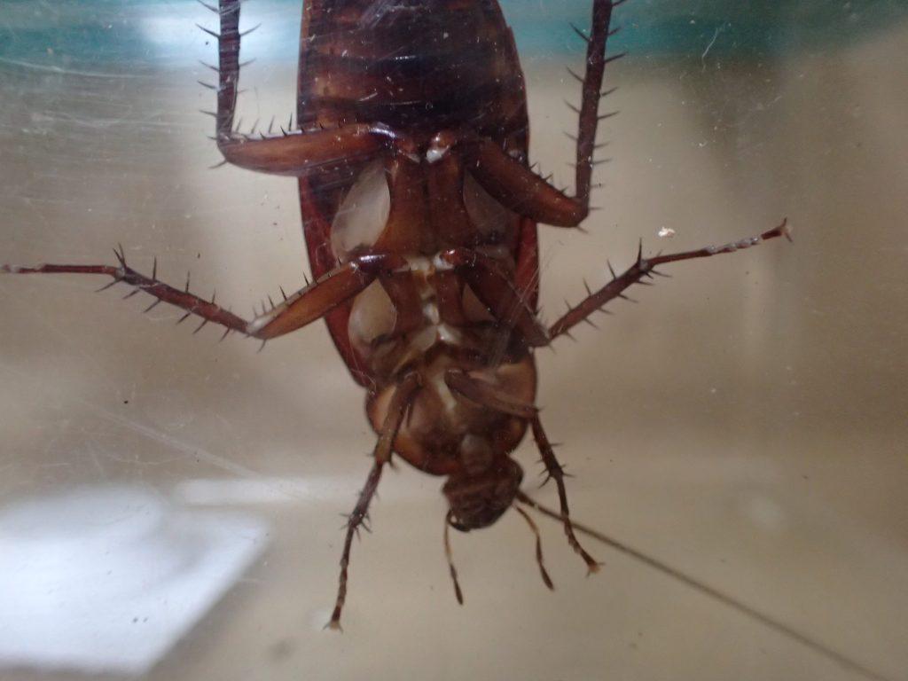ワモンゴキブリを捕獲した容器内にダイソーのホウ酸ダンゴを投入!