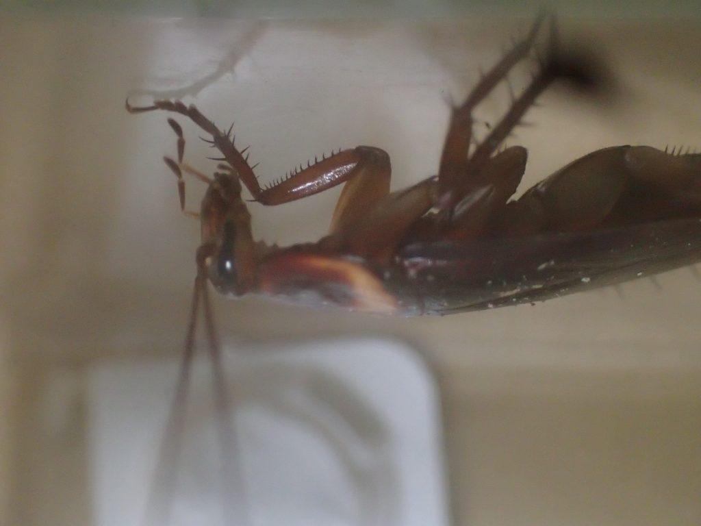 しきりに触覚をクネクネ動かしているが、この後ワモンゴキブリはホウ酸ダンゴを食べることはなかった