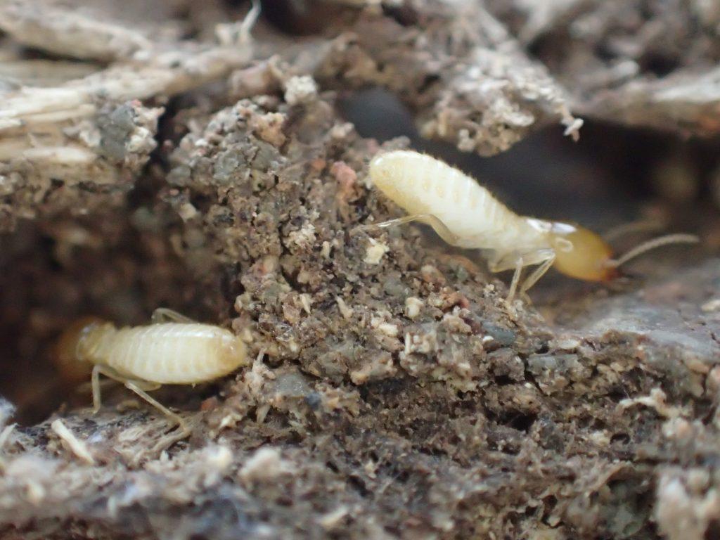 牙を持つ個体と持たない個体の2種類のイエシロアリがいる模樣