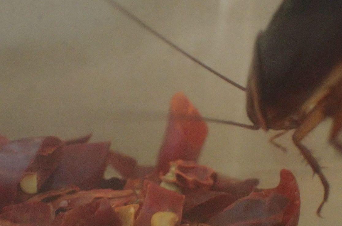 唐辛子が敷き詰められた底に絶対に降りようとしないゴキブリ