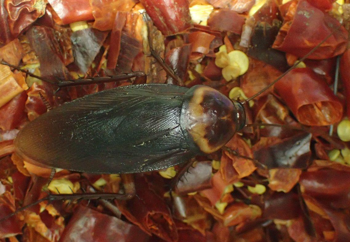 唐辛子の上に降りたワモンゴキブリは平然としていた