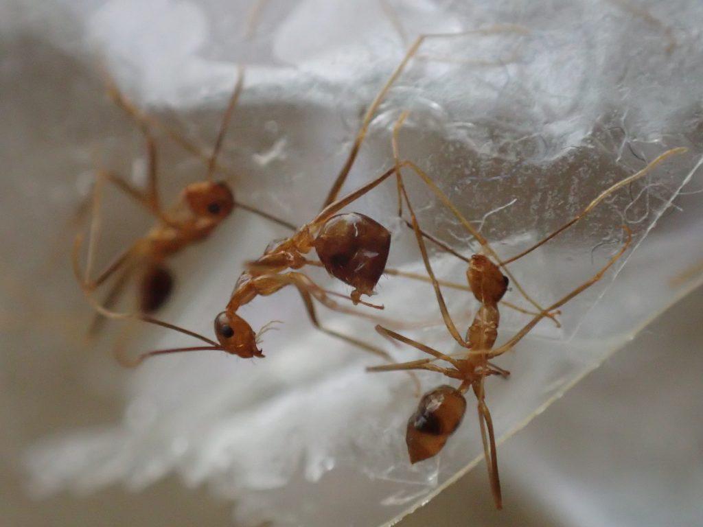 セロハンテープで捕獲した害虫アシナガキアリ